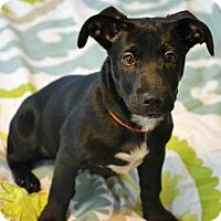 Adopt A Pet :: Hendrix - Staunton, VA