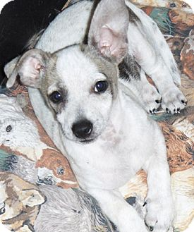 Chihuahua/Dachshund Mix Puppy for adoption in Glendale, Arizona - Mesquite