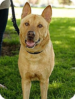 Shepherd (Unknown Type) Mix Dog for adoption in Los Angeles, California - MAX - COURTESY
