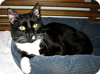 Domestic Shorthair Cat for adoption in Brooklyn, New York - Louis