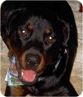 Rottweiler Dog for adoption in Naples, Florida - CAIN