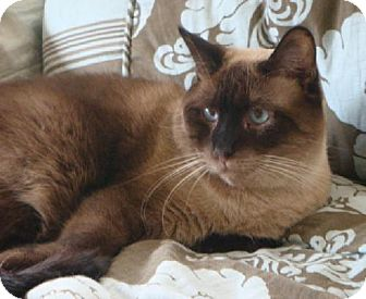 Siamese Cat for adoption in Hallandale, Florida - Bean