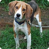 Adopt A Pet :: Bill Bailey - Derry, NH