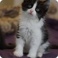 Adopt A Pet :: Salahit - St. Louis, MO
