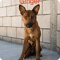 Adopt A Pet :: Ginger *ADOPTION PENDING* - Las Vegas, NV