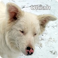 Adopt A Pet :: Ukiah - DEAF adoption pending - Post Falls, ID