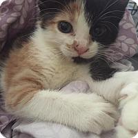 Adopt A Pet :: Coraline - bridgeport, CT