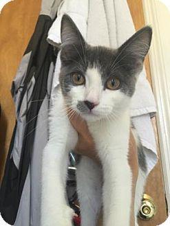 Domestic Shorthair Kitten for adoption in New York, New York - Vinyl