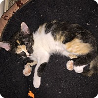 Calico Kitten for adoption in Weatherford, Texas - Tiffany