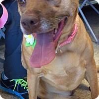Adopt A Pet :: Reese Cup - Phoenix, AZ