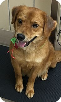 Nova Scotia Duck-Tolling Retriever Mix Dog for adoption in Battle Creek, Michigan - Mabel