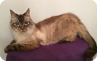 Balinese Cat for adoption in Merrifield, Virginia - Smokey