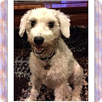 Bichon Frise Dog for adoption in Tulsa, Oklahoma - Adopted!!Dory - S. TX