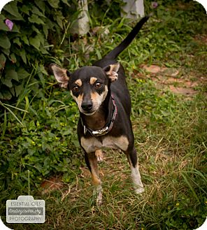 Chihuahua Mix Dog for adoption in Leander, Texas - Ryder