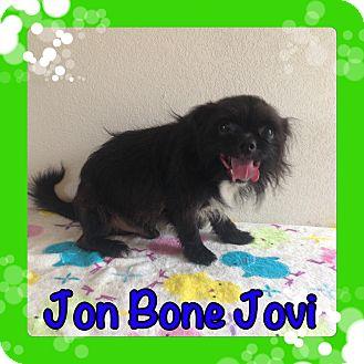 Pekingese/Terrier (Unknown Type, Small) Mix Dog for adoption in Pahrump, Nevada - Jon Bone Jovi