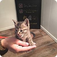 Adopt A Pet :: Ron Purrgundy - oklahoma city, OK
