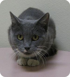 Domestic Shorthair Cat for adoption in Gary, Indiana - Robinson