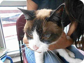 Snowshoe Cat for adoption in San Antonio, Texas - PRECIOUS