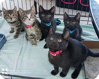 Domestic Shorthair Kitten for adoption in Merrifield, Virginia - Rocky Road