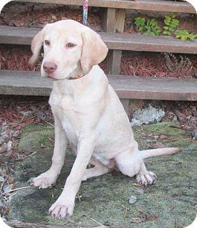 Labrador Retriever Puppy for adoption in WOODSFIELD, Ohio - YAMI- SO SWEET!