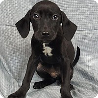 Labrador Retriever Mix Puppy for adoption in Champaign, Illinois - Bullwinkle