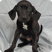 Adopt A Pet :: Bullwinkle - Champaign, IL