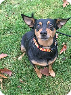 Manchester Terrier/Hound (Unknown Type) Mix Dog for adoption in Kalamazoo, Michigan - Haley