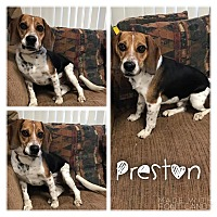 Adopt A Pet :: Preston - Garden City, MI