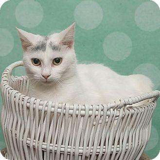 Domestic Shorthair Cat for adoption in Chippewa Falls, Wisconsin - Johanna