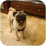 Pug Puppy for adoption in Windermere, Florida - Salvadore