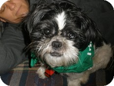Shih Tzu Dog for adoption in Spring City, Tennessee - Kisses