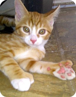 Polydactyl/Hemingway Kitten for adoption in Escondido, California - Winston