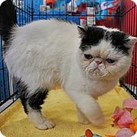 Adopt A Pet :: Cody - Beverly Hills, CA