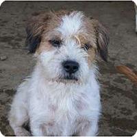 Adopt A Pet :: Paddy - Albany, NY
