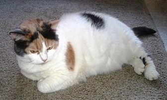 Calico Cat for adoption in Williamston, Michigan - Dusty