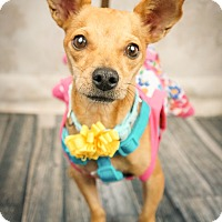 Terrier (Unknown Type, Small)/Chihuahua Mix Dog for adoption in Phoenix, Arizona - PollyAnna