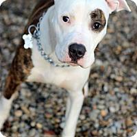 Adopt A Pet :: Coco - Tinton Falls, NJ