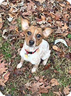 Hound (Unknown Type)/Cattle Dog Mix Dog for adoption in Alabaster, Alabama - Bailey