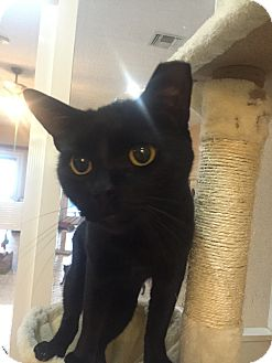 Domestic Shorthair Cat for adoption in Jupiter, Florida - Midnight