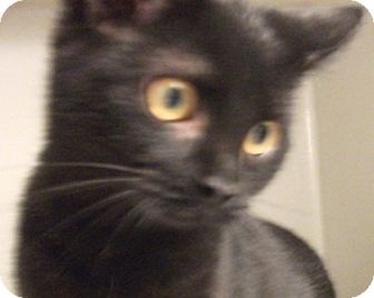 Domestic Shorthair Kitten for adoption in Keokuk, Iowa - raven