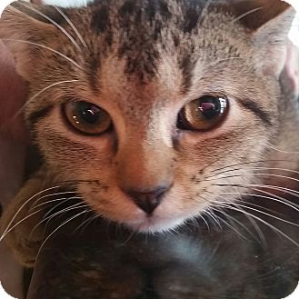 Domestic Shorthair Kitten for adoption in Palatine, Illinois - Tawny