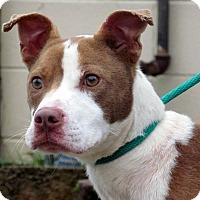Adopt A Pet :: Suga Bear - Charlotte, NC