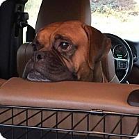 Adopt A Pet :: Ginger - Woodinville, WA