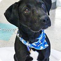 Adopt A Pet :: Max - Schaumburg, IL