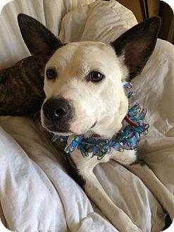 Cattle Dog/Pit Bull Terrier Mix Dog for adoption in Kansas City, Missouri - LuLu