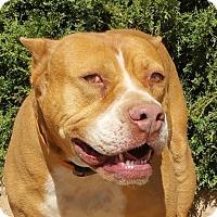 Adopt A Pet :: Simply Sweet Sven - Albuquerque, NM