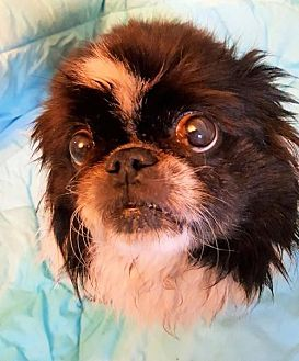 Pekingese Dog for adoption in Elizabethtown, Pennsylvania - Zoboomafoo