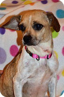 Chihuahua Mix Dog for adoption in Albemarle, North Carolina - Cici