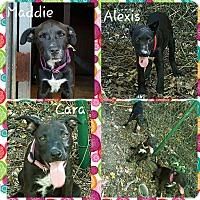 Adopt A Pet :: alexis - Gainesville, GA