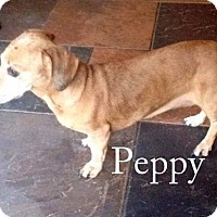Dachshund Mix Dog for adoption in New Smyrna beach, Florida - Peppy